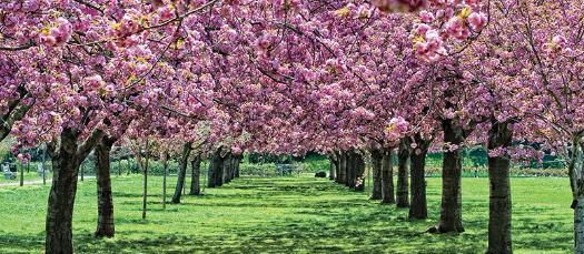 Sakura Matsuri (Cherry Blossom Festival) Trip